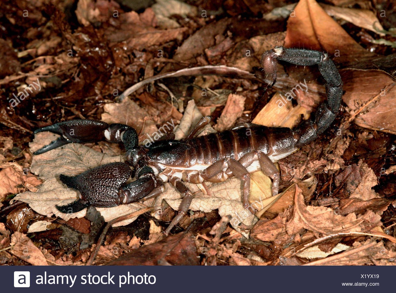 Giant Indian black scorpion, Heterometrus swammerdami, on forest floor, world's largest scorpion at 9 inches long fully grown Stock Photo