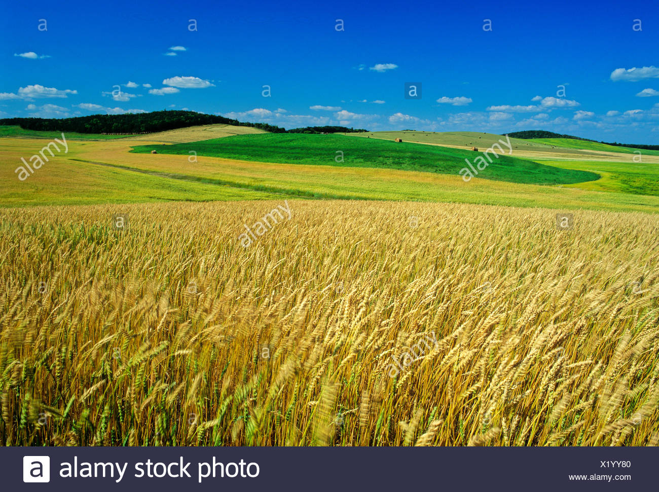 maturing spring wheat field with alfalfa fields in the distance, Tiger Hills, Manitoba, Canada - Stock Image