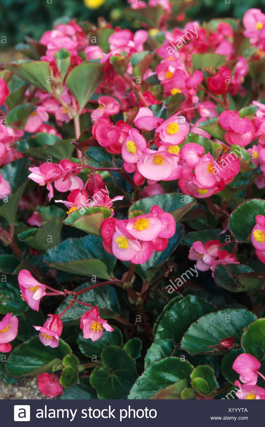 Begonia All Round Rose With Pink Flowers Yellow At Centre And