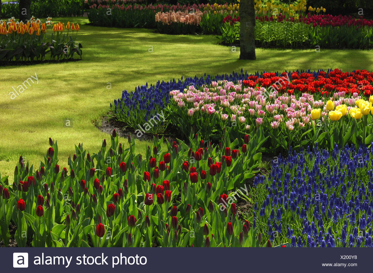 common garden tulip (Tulipa gesneriana), park with flowerbeds with different coloured tulips and grape hyacinths, Netherlands, Stock Photo