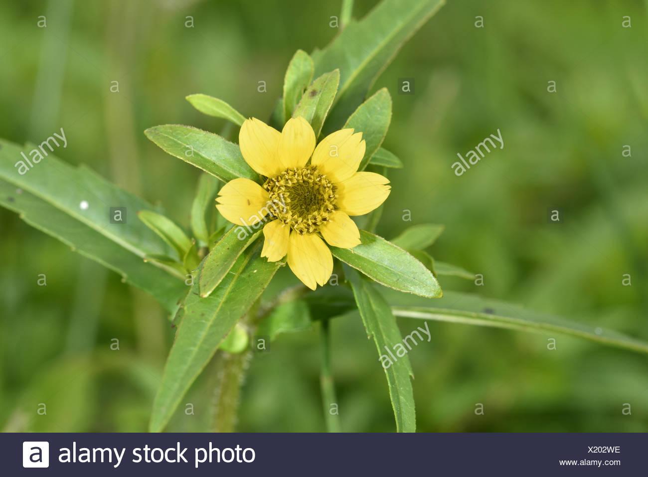 Nodding Bur-marigold - Bidens cernua - Stock Image