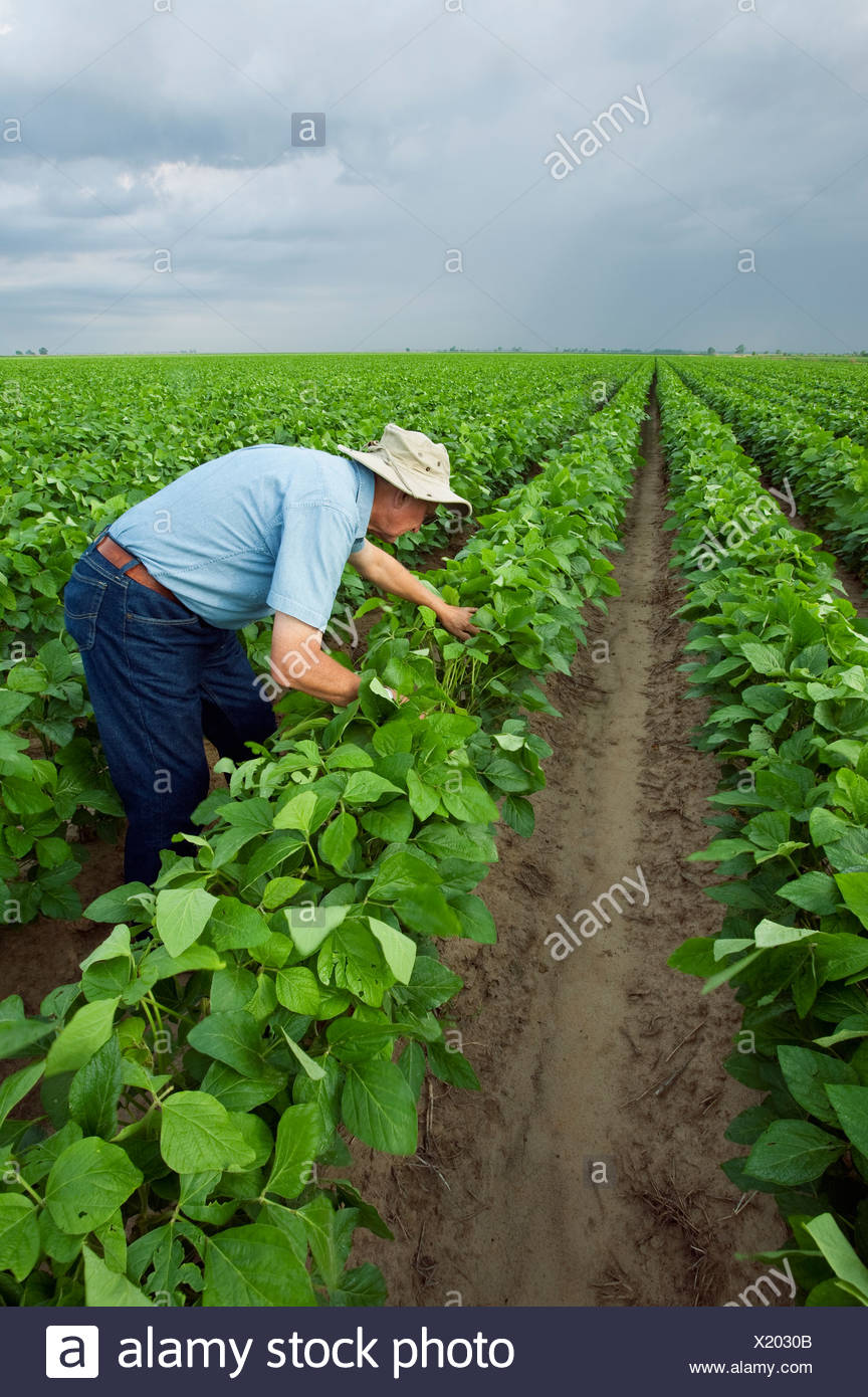 Agriculture - A crop consultant inspects a mid growth crop of soybeans at the pod setting stage / Arkansas, USA. - Stock Image