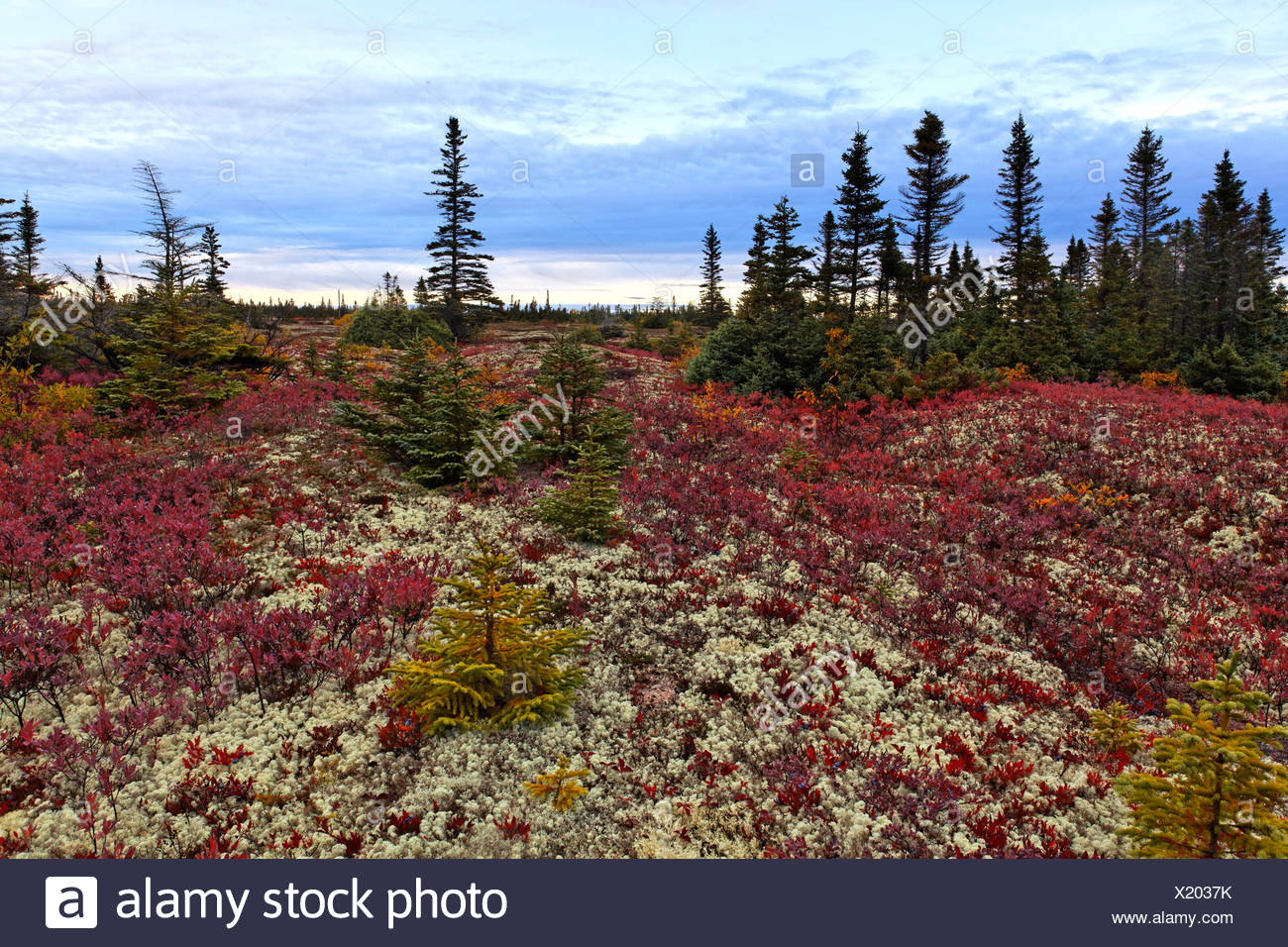 Boreal forest along St Lawrence river, Black Spruce (Picea mariana) and Northern Highbush Blueberry (Vaccinium corymbosum) - Stock Image
