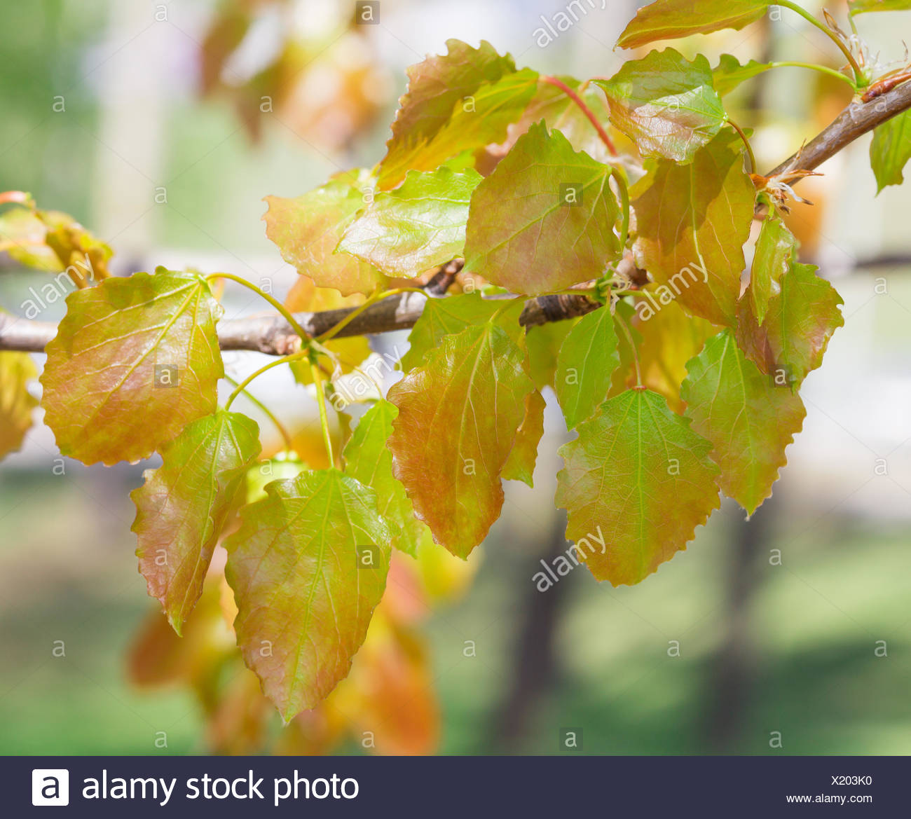 Spring. Aspen twig - Stock Image