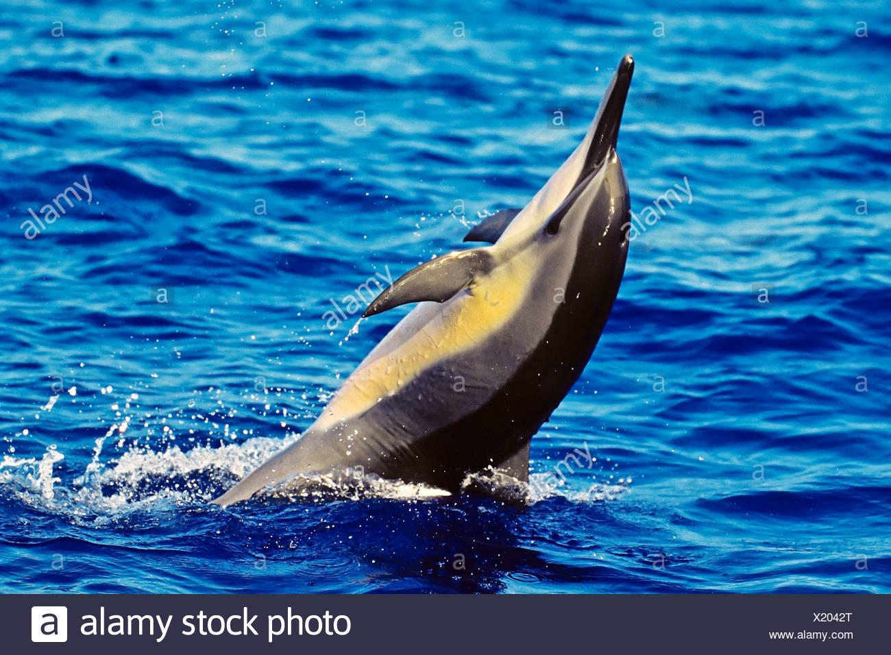 Hawaiian spinner dolphin, Stenella longirostris longirostris, tail  walking, Kona, Hawaii - Stock Image