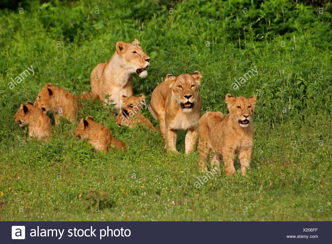 lion (Panthera leo), lionesses with young animals, Tanzania, Serengeti National Park - Stock Image