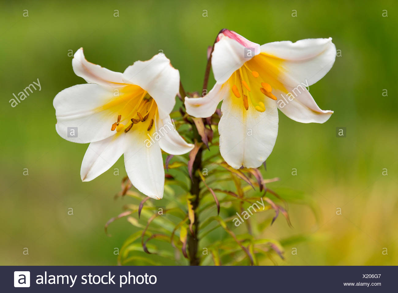 Regal Lily (Lilium regale), flowering, Lower Saxony, Germany - Stock Image