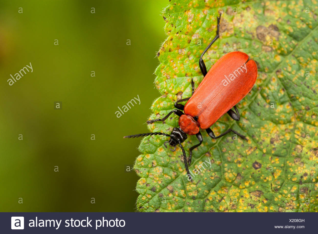 Scarlet fire beetle, Cardinal beetle (Pyrochroa coccinea), sitting on a leaf, Germany, Rhineland-Palatinate - Stock Image