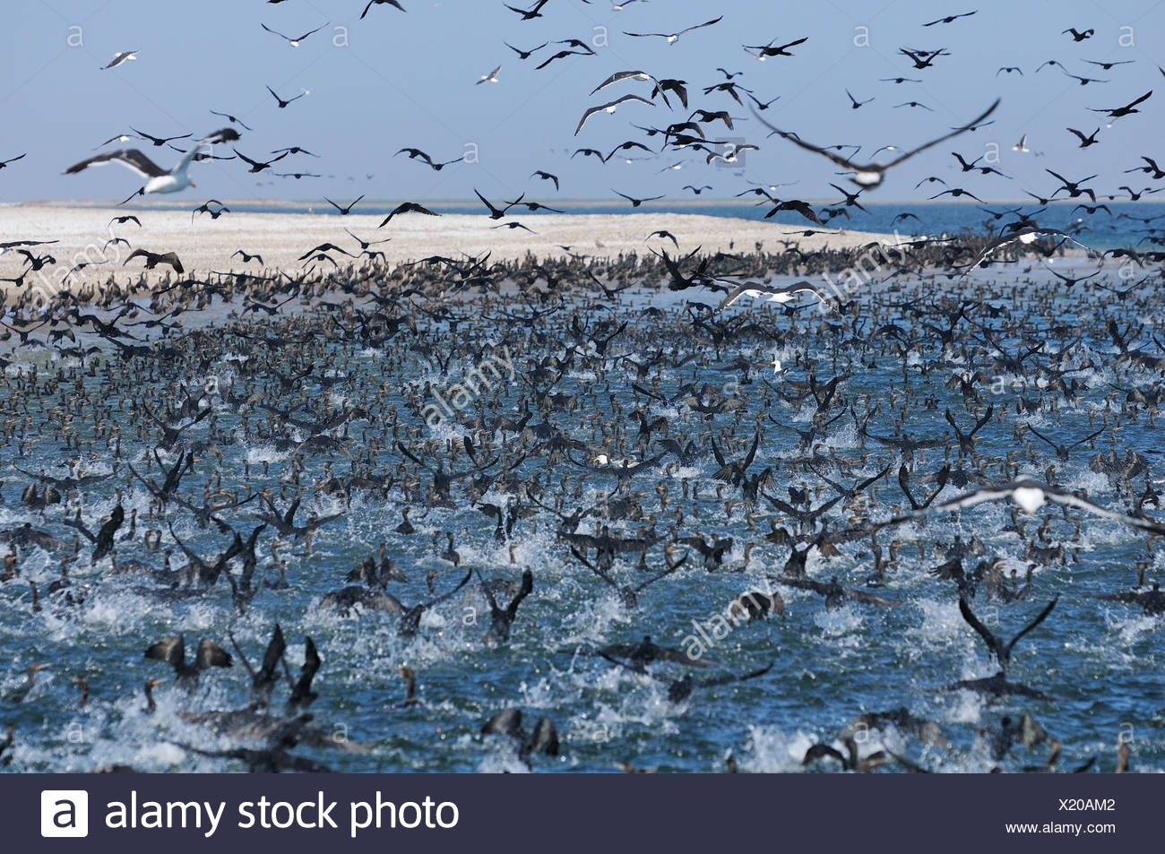 Africa, Namibia, Walvis Bay, Cormorants, Colony, birds, swarm, - Stock Image