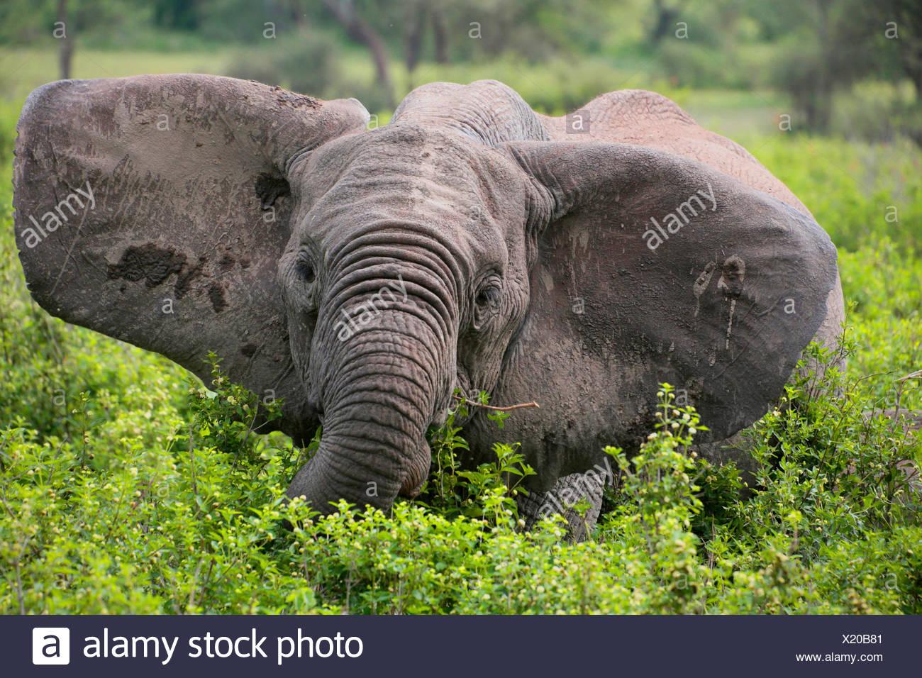 African elephant (Loxodonta africana), eating elephant with pricked up ears, Tanzania, Serengeti National Park - Stock Image