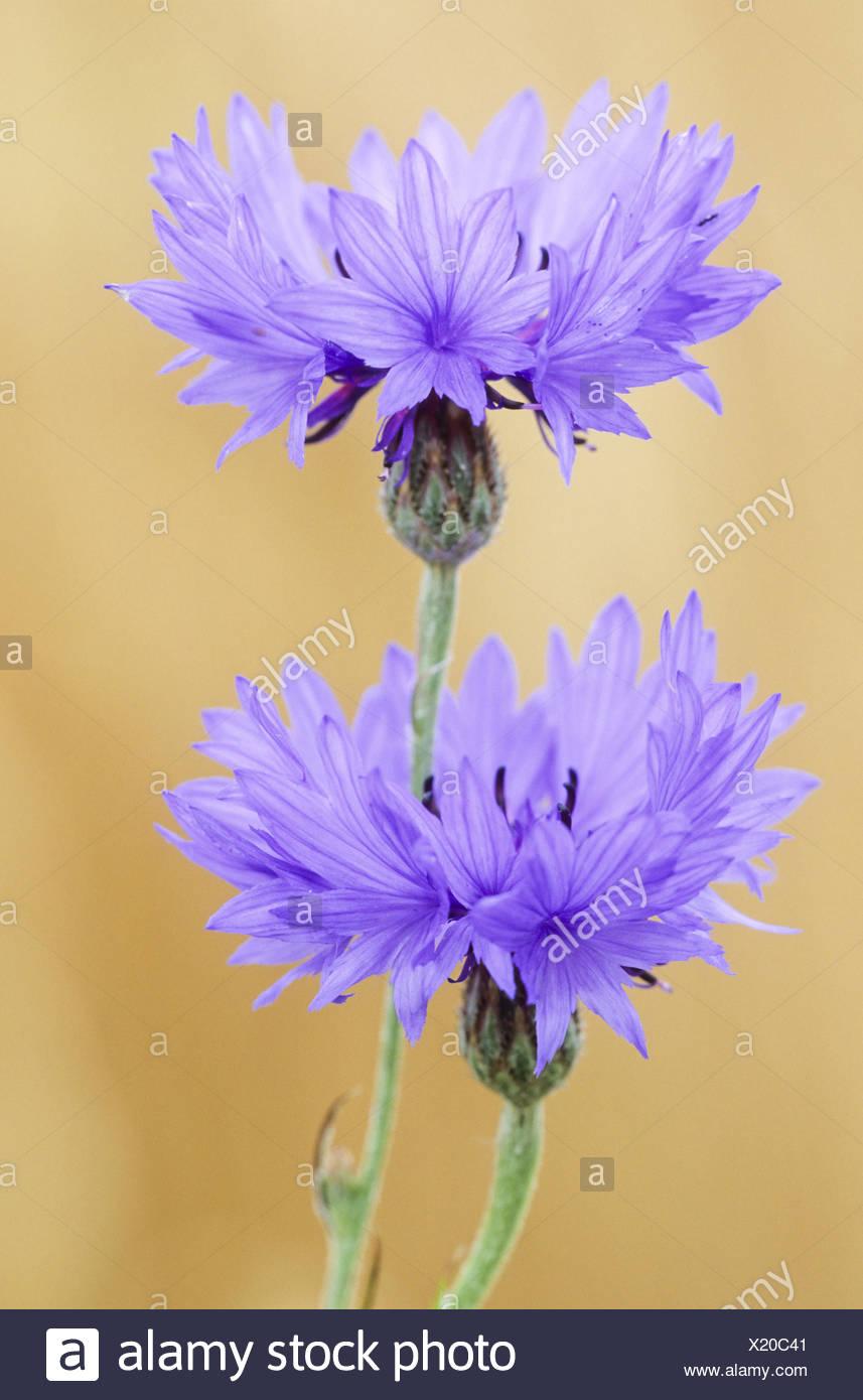 Cornflower is the national flower of Estonia - Stock Image