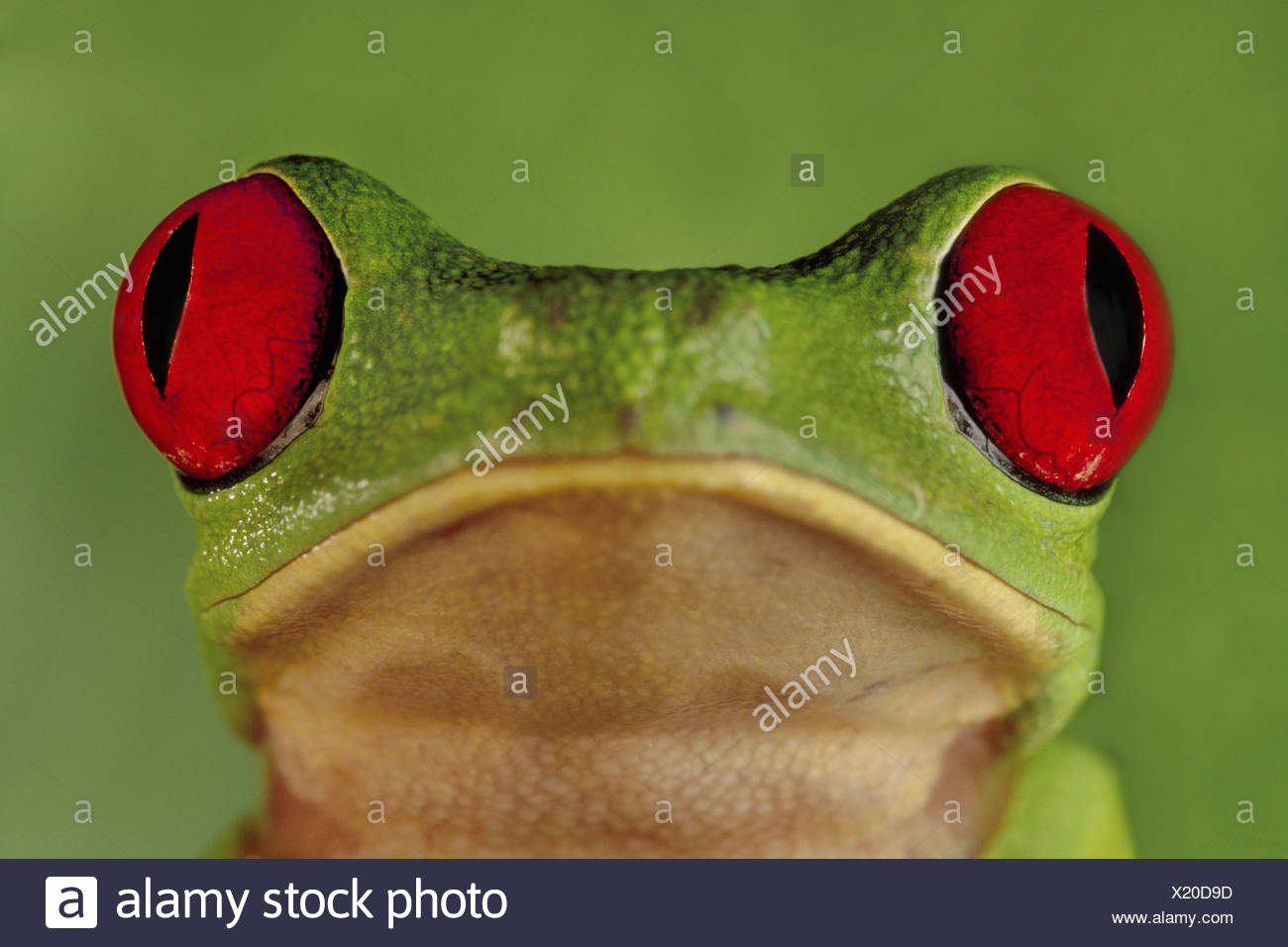 Barro Colorado Island Panama Red-eyed tree frog Agalychnis callidryas Panama Stock Photo