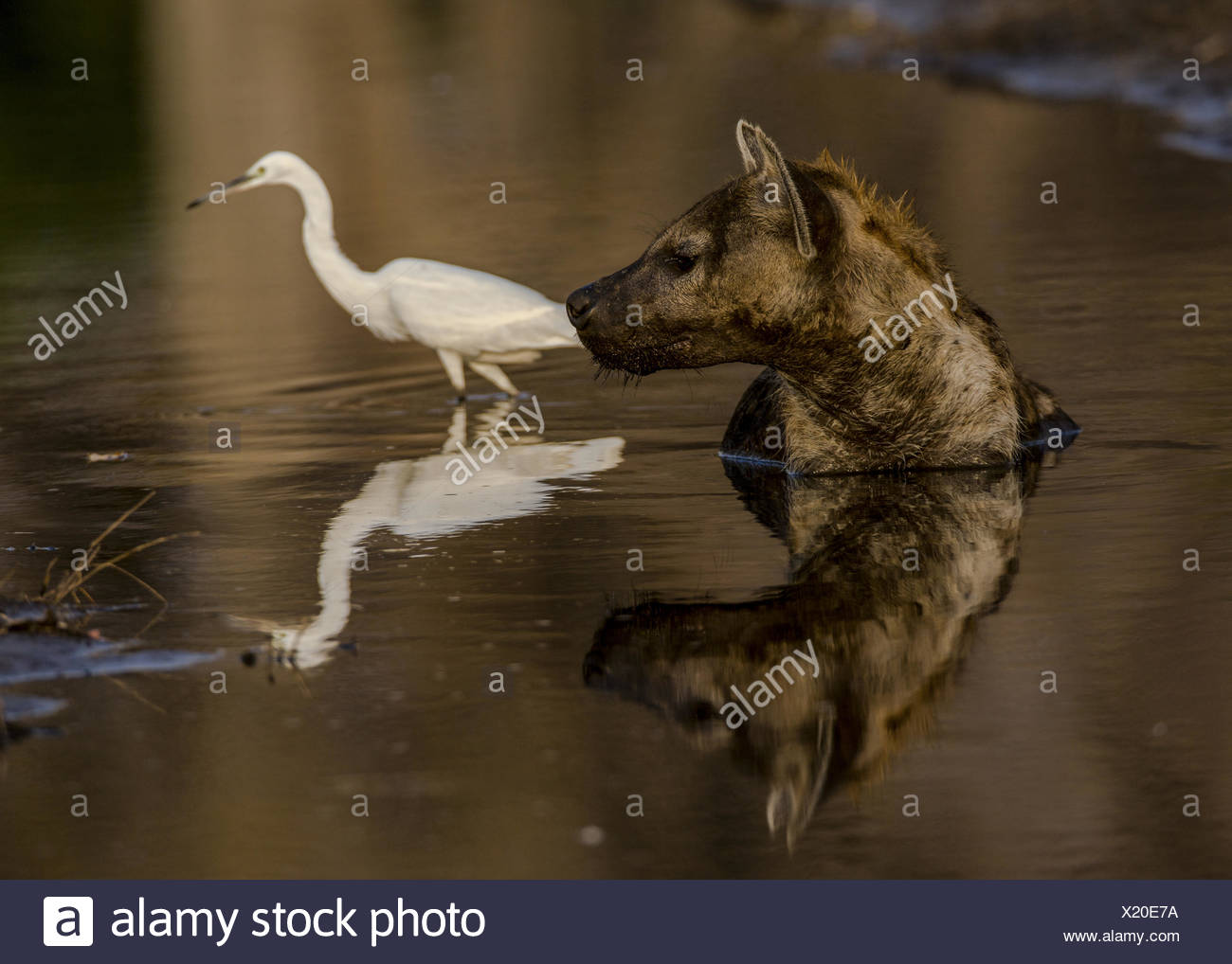 A Spotted Hyena, Crocuta crocuta, lies in a small water pool to cool down in the midday sun,. - Stock Image