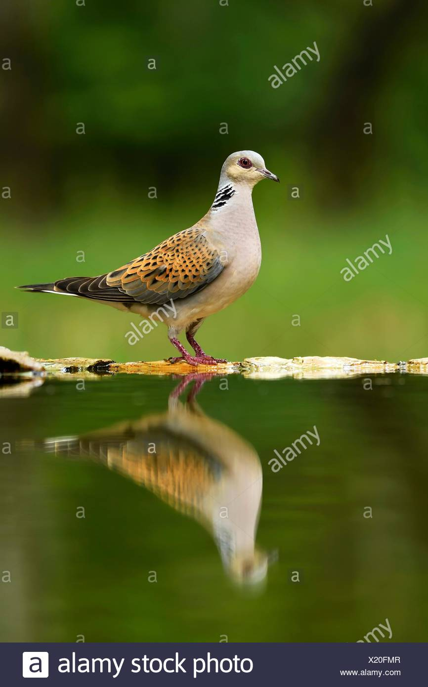 Turtle dove (Streptopelia turtur) at birdbath, Mirroring, National Park Kiskunsag, Hungary - Stock Image