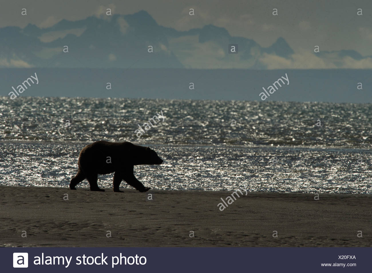 Silhouette of a Brown Bear, Ursus arctos, walking near the water at Silver Salmon Creek Lodge in Lake Clark National Park. - Stock Image