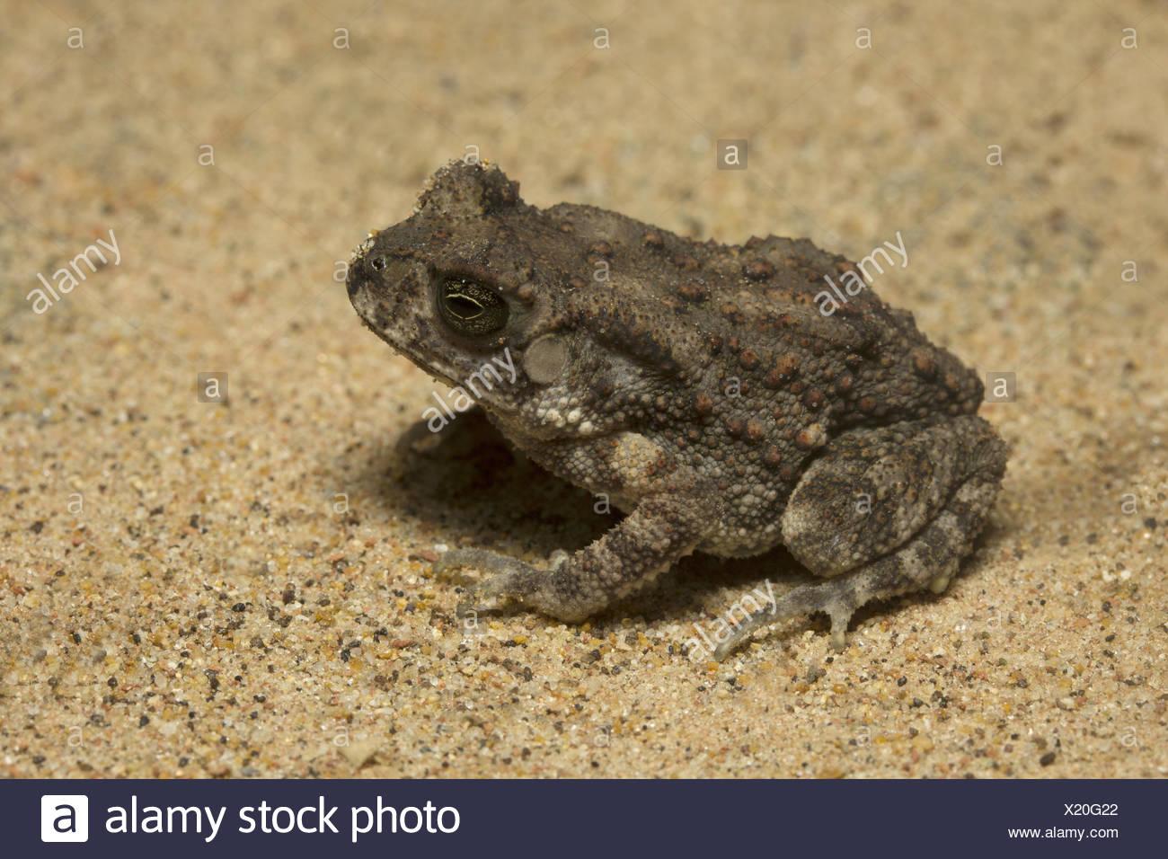 Toad, Bufo sp, Bufonidae, Trishna, Tripura , India - Stock Image