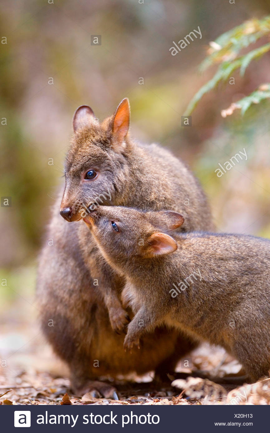 rufous wallaby, red-bellied pademelon, Tasmanian pademelon (Thylogale billardierii), mother with juvenile, Australia, Tasmania, - Stock Image