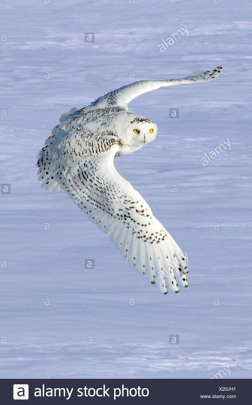 Snowy owl (Bubo scandiaca) hunting in winter, prairie Alberta, Canada - Stock Image