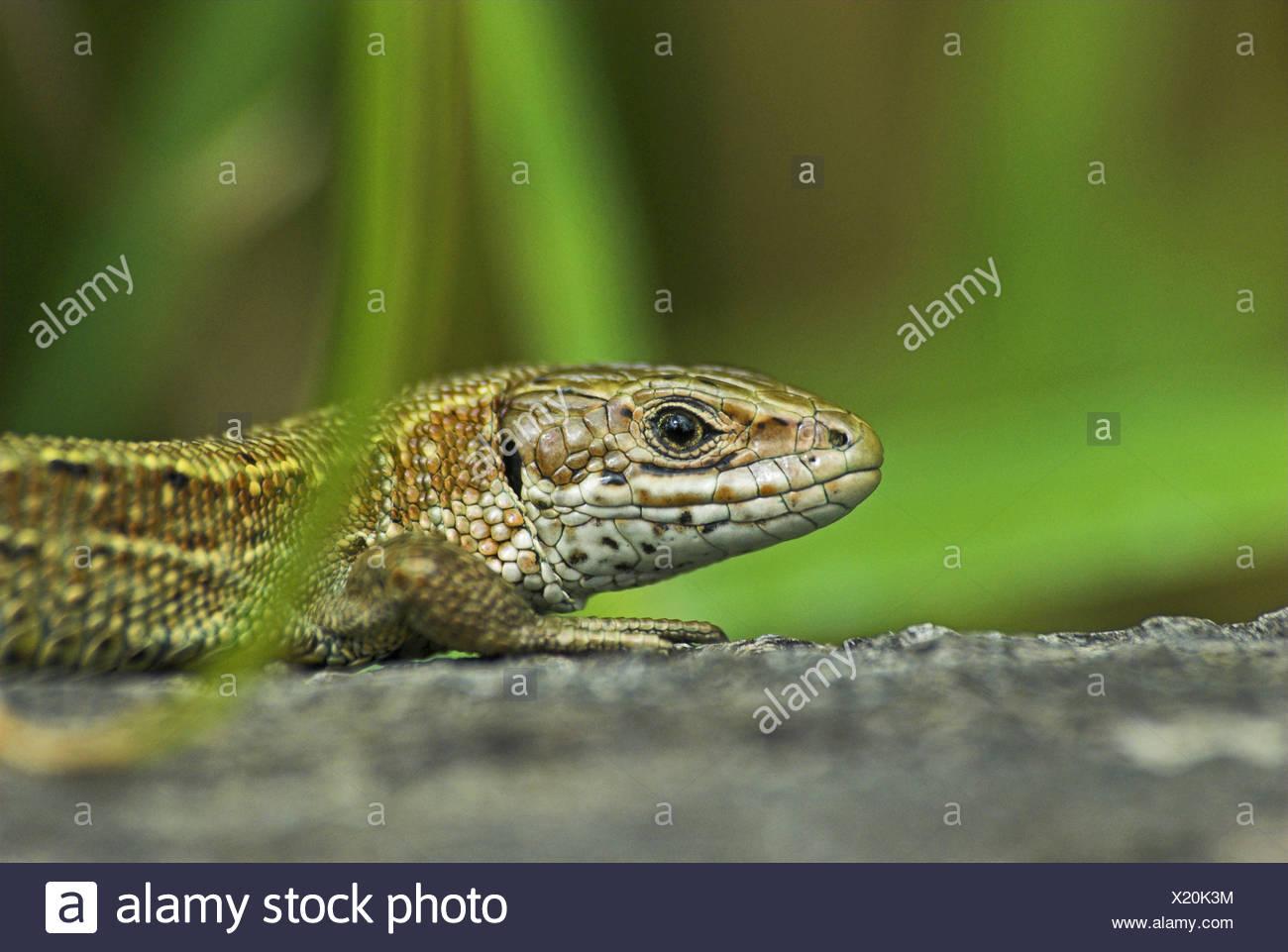 Basking common lizard (lacerta vivipara). Stock Photo