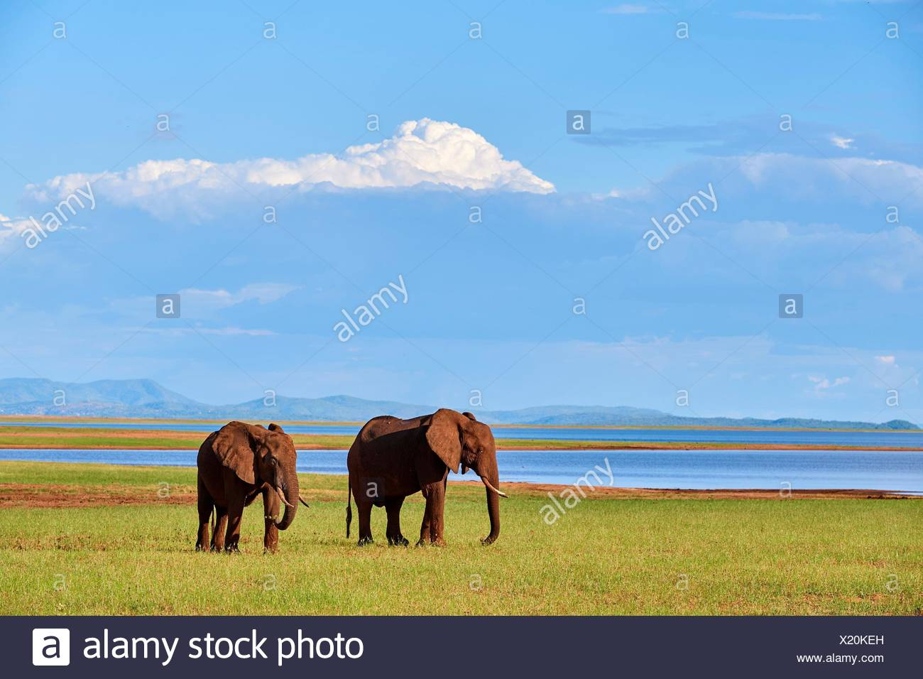 African elephants (loxodonta africana) grazing on shore of Lake Kariba. Matusadona National Park, Zimbabwe. - Stock Image