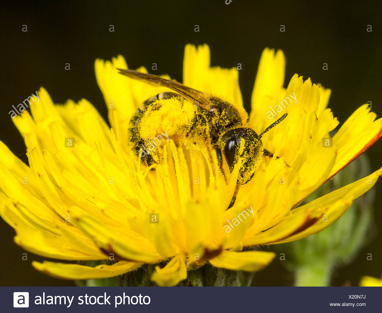 Sweat bee (Halictus scabiosae), female foraging on crepis, Germany - Stock Image