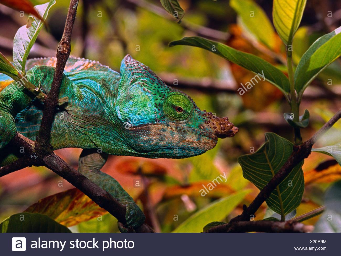Madagascar. Wildlife. Chameleon. - Stock Image