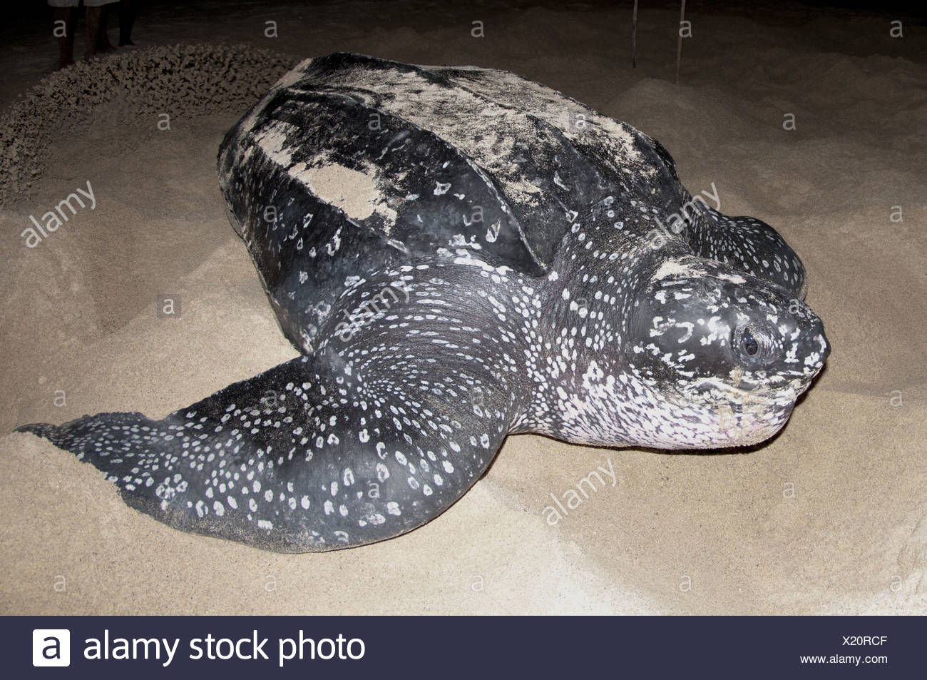 Leatherback Turtle (Dermochelys coriacea) adult female