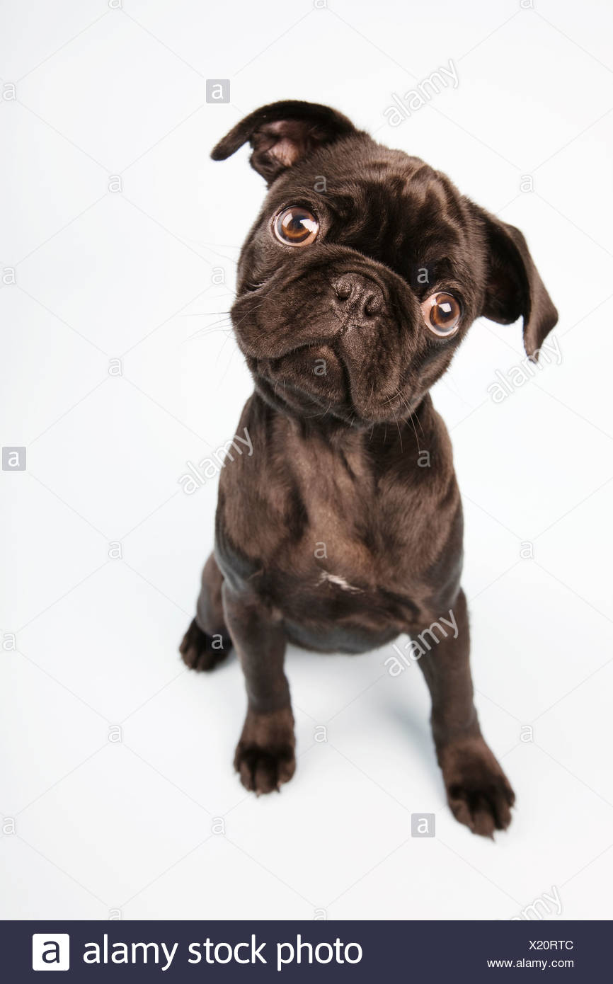 Pug dog sitting down, portrait - Stock Image