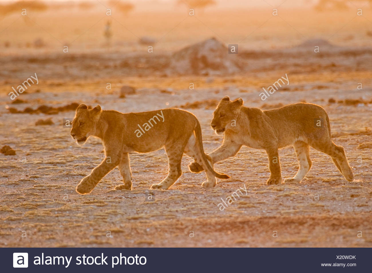 Lion cups (Panthera leo) Nxai Pan, Makgadikgadi Pans National Park, Botswana, Africa Stock Photo