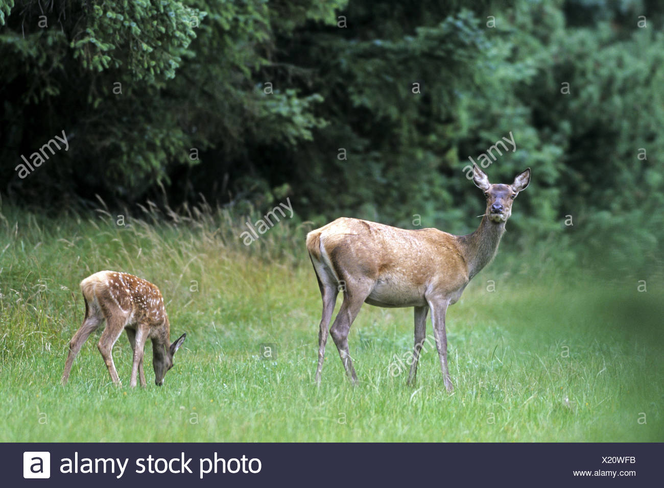Red Deer hind and calf Stock Photo