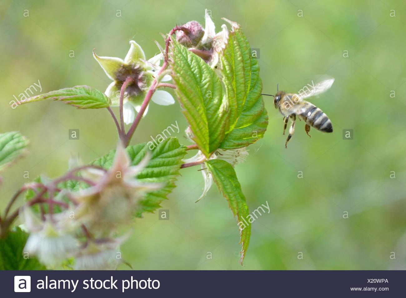 Honeybee flying to reach flower - Stock Image