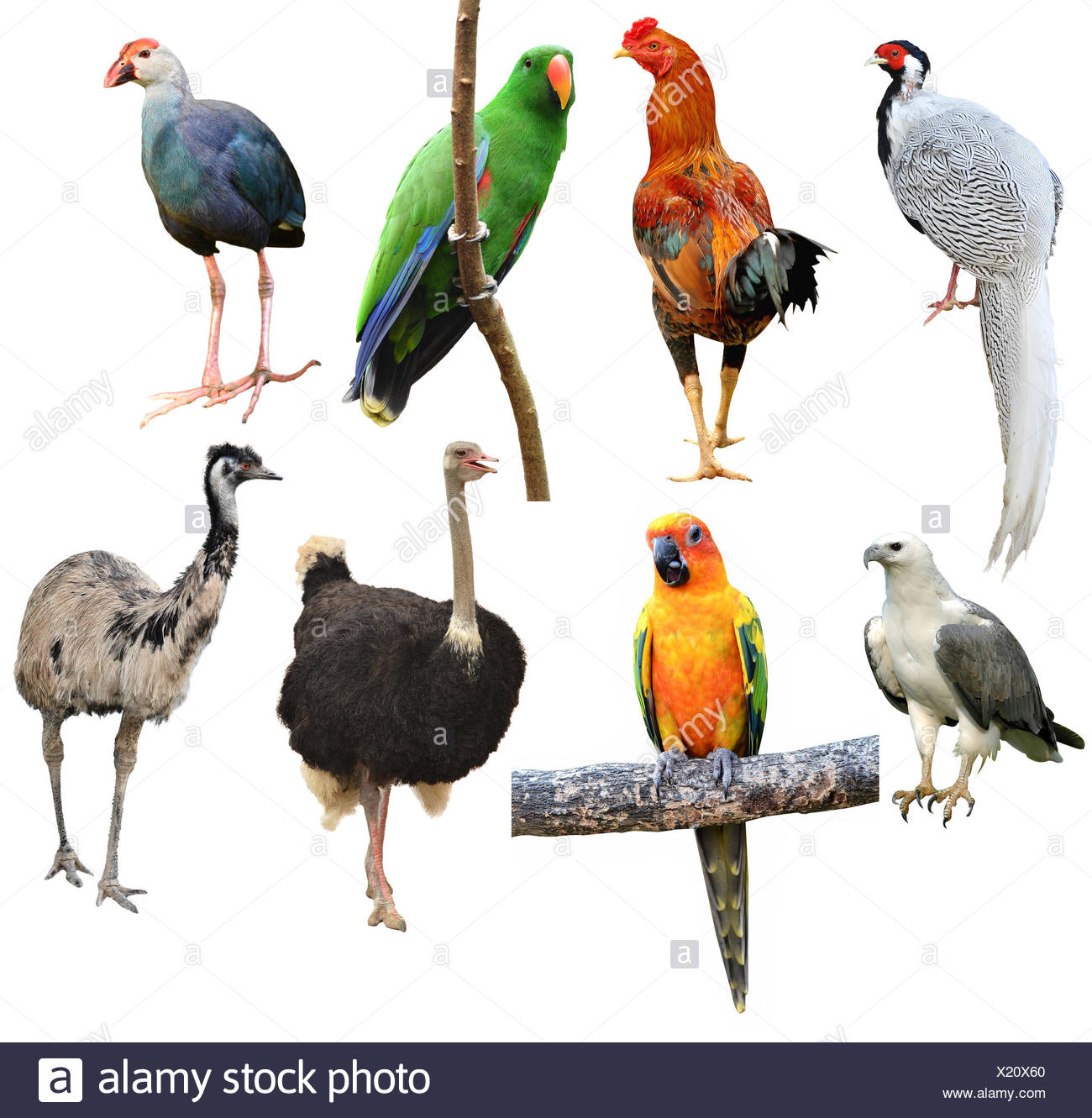 collection of bird isolated on white background - Stock Image