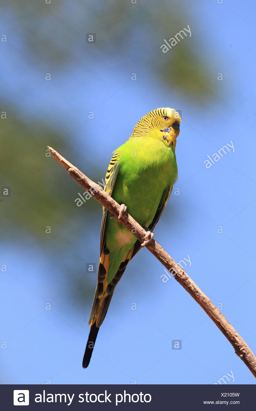 Budgerigar perching on a branch, Melopsittacus undulatus - Stock Image
