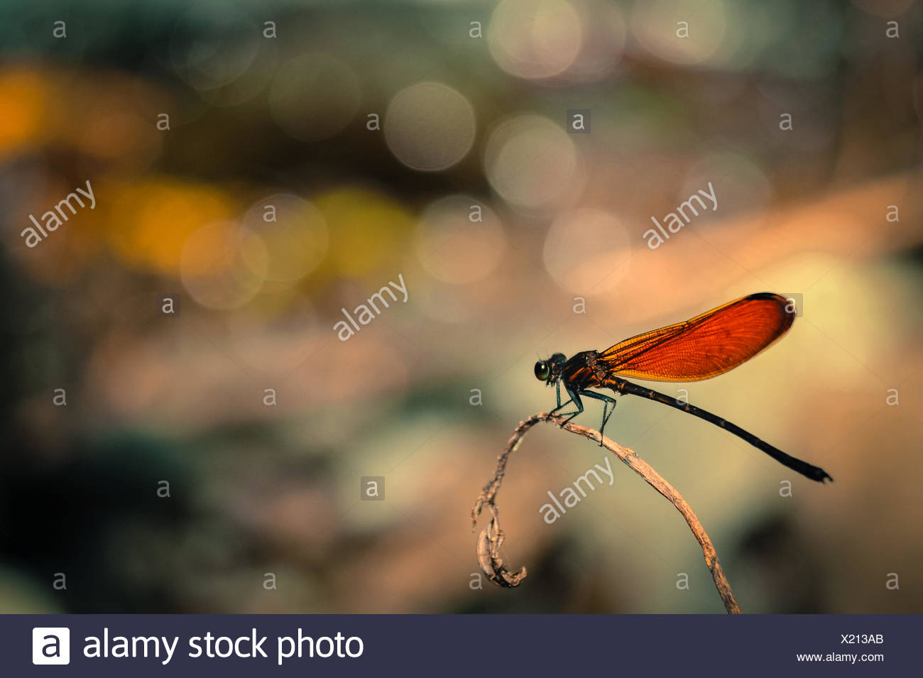 Close-up of dragonfly on twig, Indonesia - Stock Image