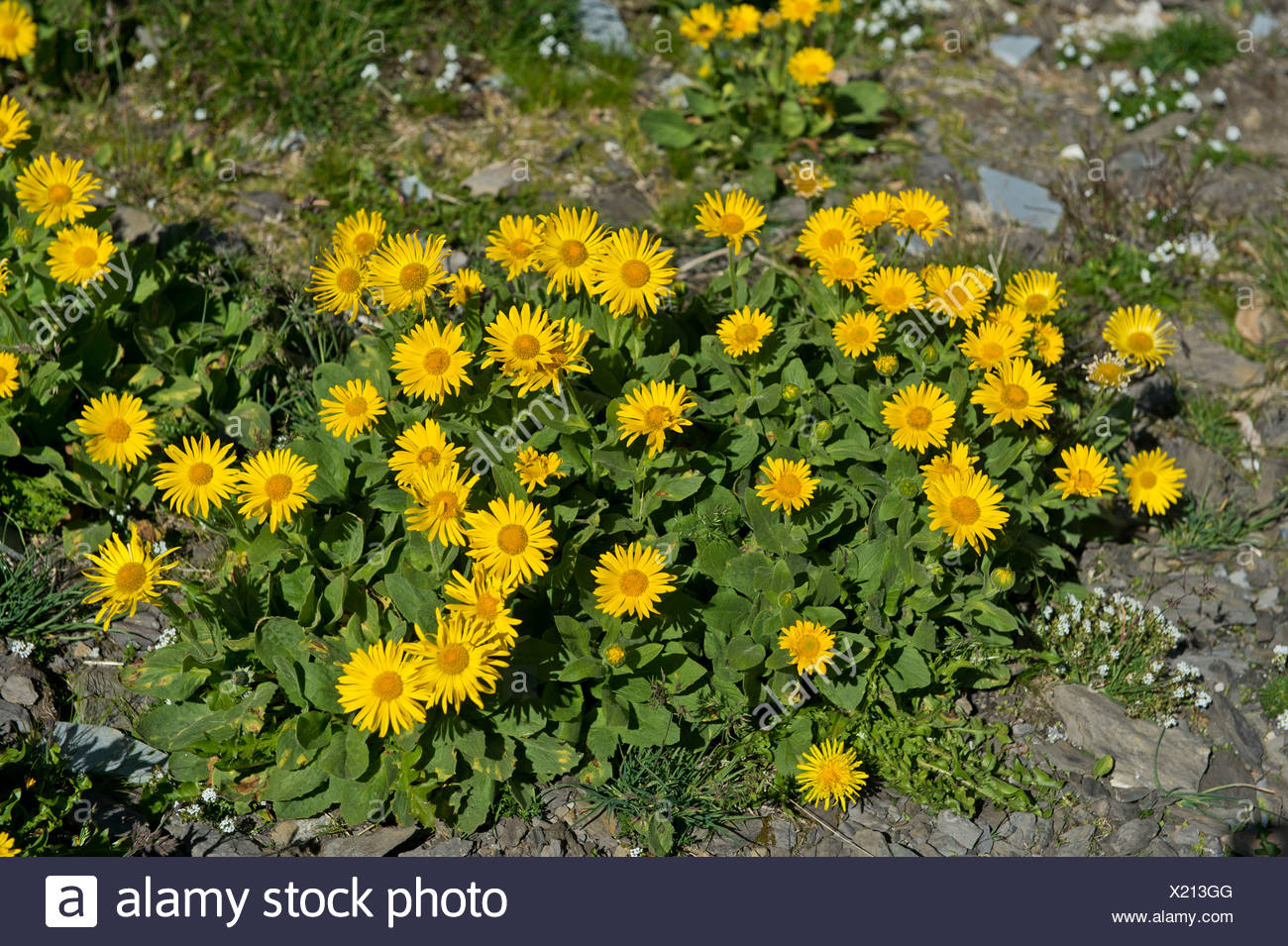 Doronicum (Doronicum grandiflorum), Canton of Valais, Switzerland - Stock Image