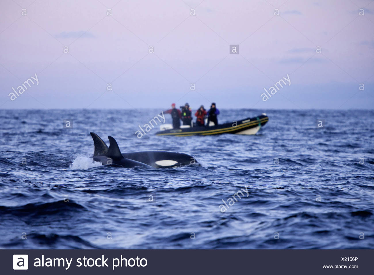 Whale watching Killer Whale Orca, Orcinus orca, Atlantic Ocean, Norway - Stock Image