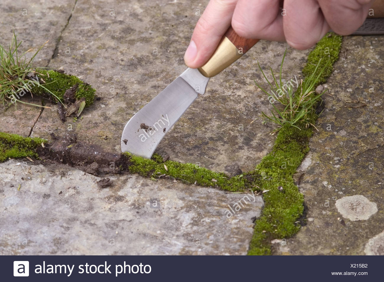 Gardener taking out weeds from between paving slabs using a garden knife Stock Photo