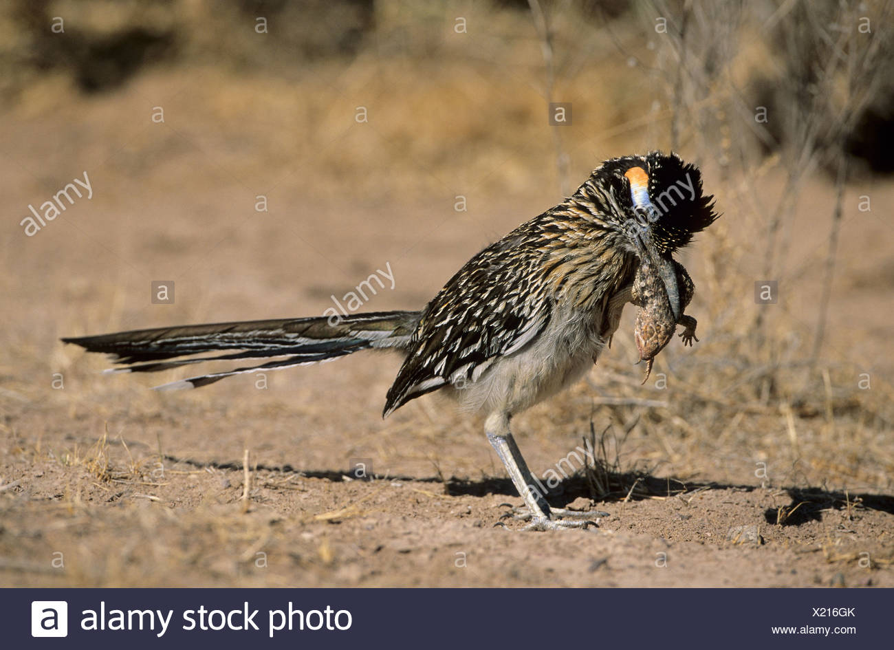 Male Greater roadrunner (Geococcyx californianus) with Desert spiny lizard (Sceloporus magister) as prey Bosque del Apache Natio - Stock Image