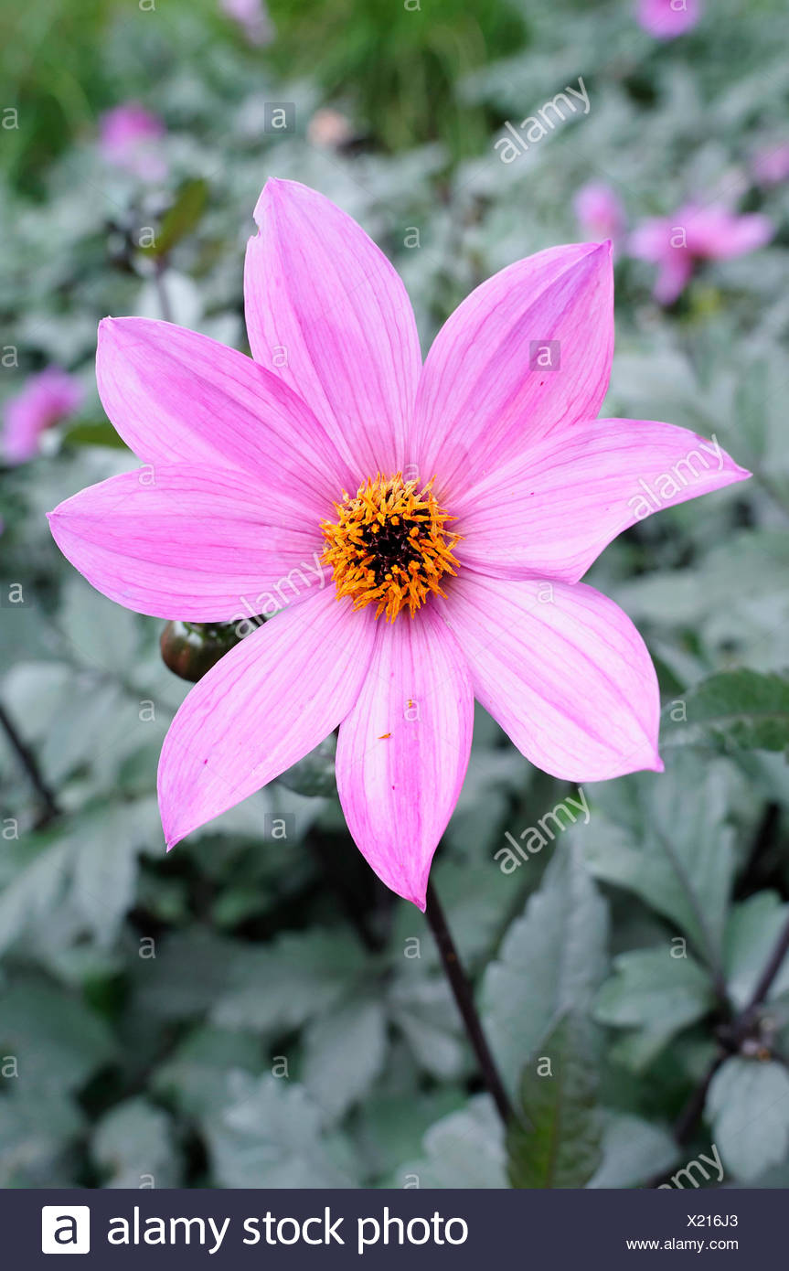Dahlia, Dahlia 'Magenta Star', Beauty in Nature, Bulb, Colour, Cottage garden plant, Flower, Autumn Flowering, Summer Flowering, Frost tender, Growing, Outdoor, Plant, Stamen, Tuber, Pink, - Stock Image