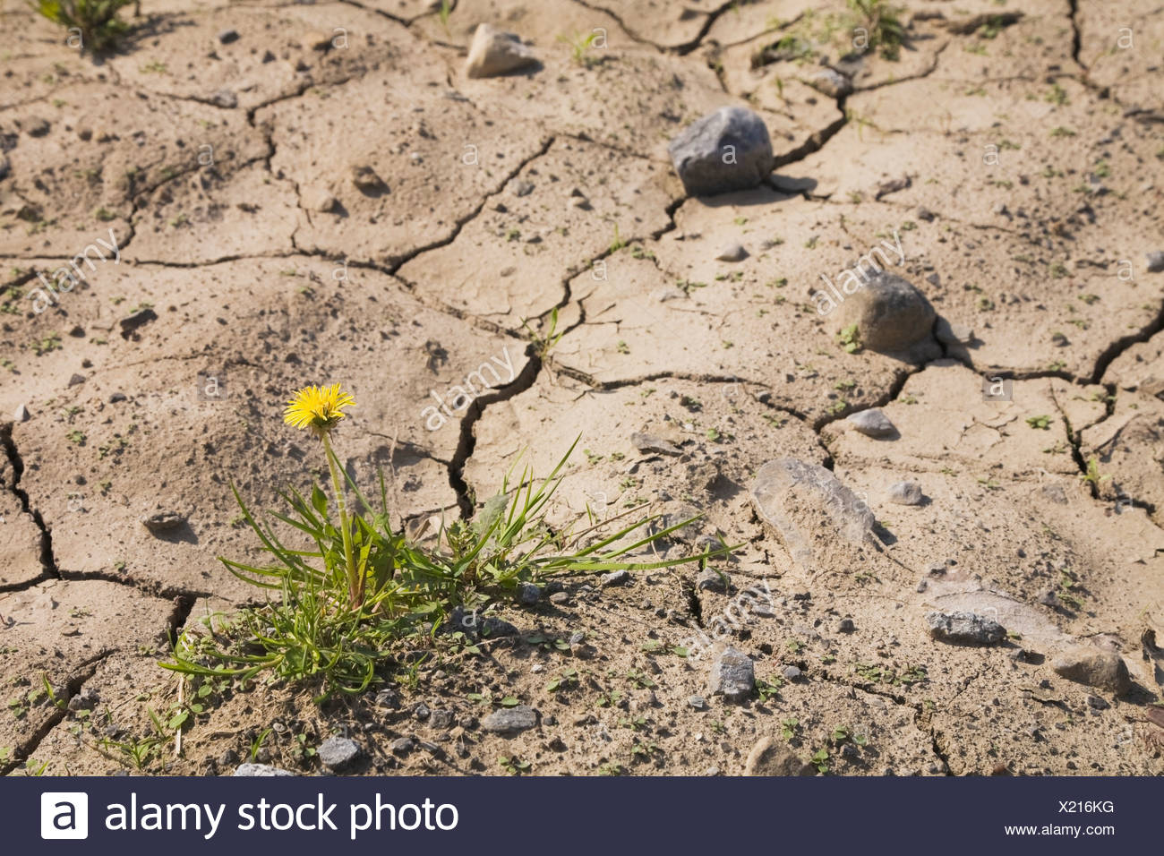 Yellow Dandelion Flower Growing In A Parched Agricultural Field At Springtime; Laval Quebec Canada Stock Photo