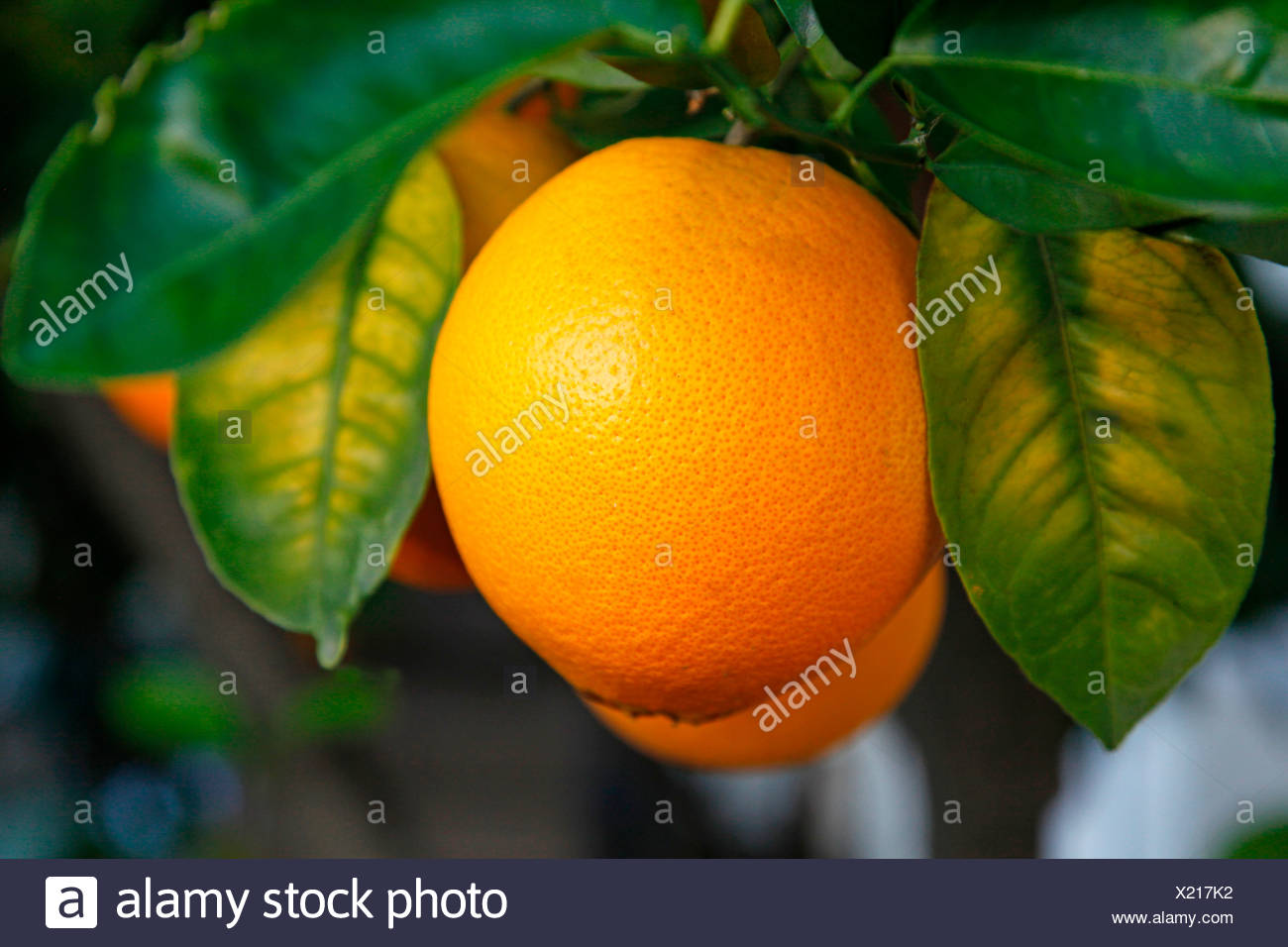 ORANGES GROWING ON TREE - Stock Image
