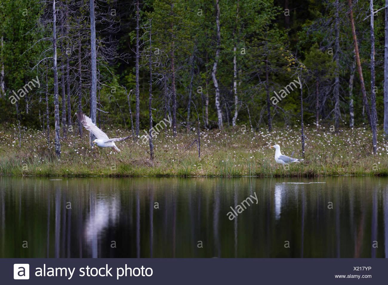 Herring gulls,Larus argentatus,along a forested lake shore. - Stock Image
