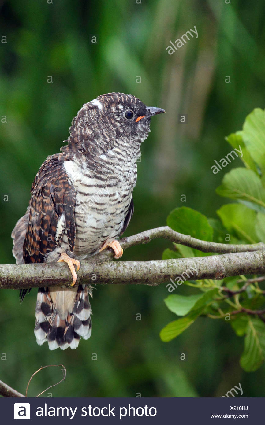 Eurasian cuckoo (Cuculus canorus), fledgling waiting on a branch , Germany - Stock Image