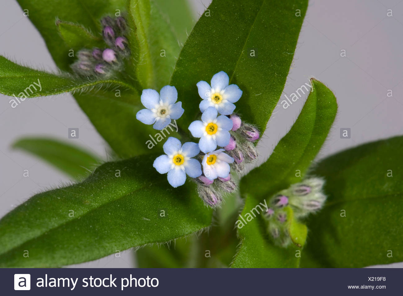 Wild Forget Me Not Myosotis Arvensis Blue Flowers With Yellow And
