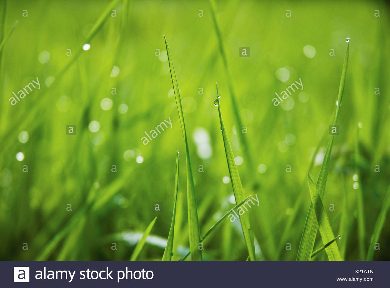 Grass close up at ground level with water droplets on the green blades. - Stock Image