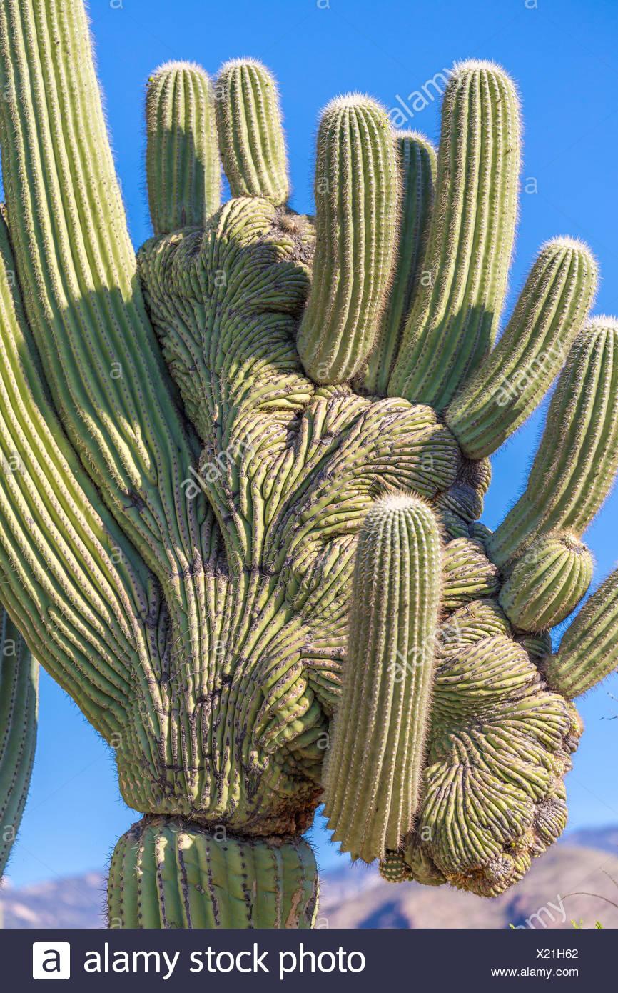 Mutated saguaro cactus (Carnegiea gigantea), Sonoran desert, Tucson, Arizona, USA Stock Photo