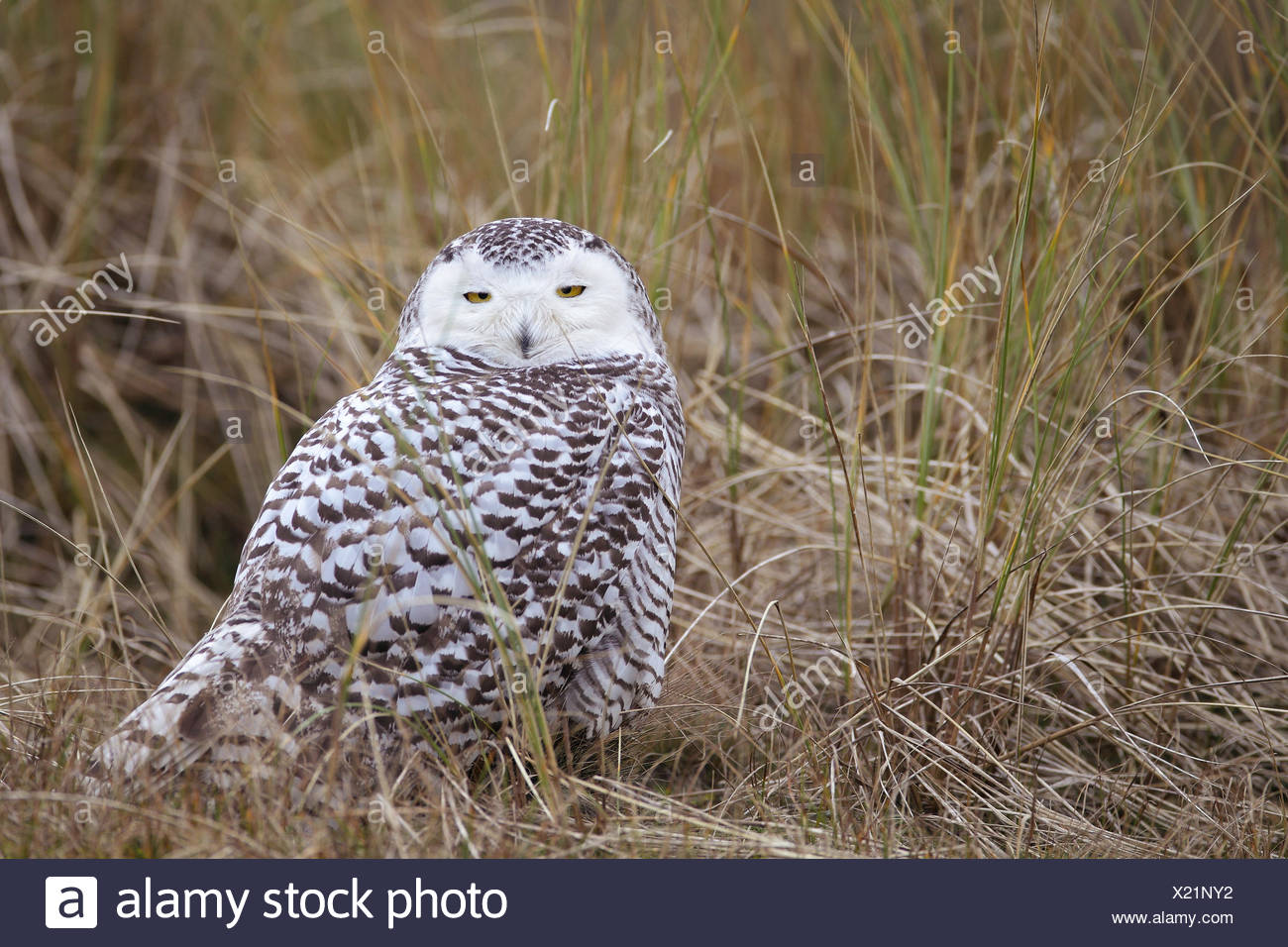 Snowy-owl resting in the dunes of the island Vlieland. A rarity for the Netherlands ! - Stock Image