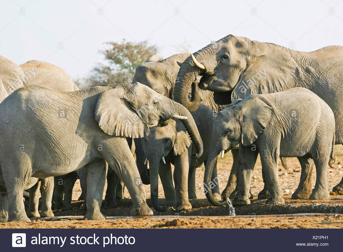 Elephant herd (Loxodonta africana) at waterhole, Etosha National Park, Namibia, Africa Stock Photo