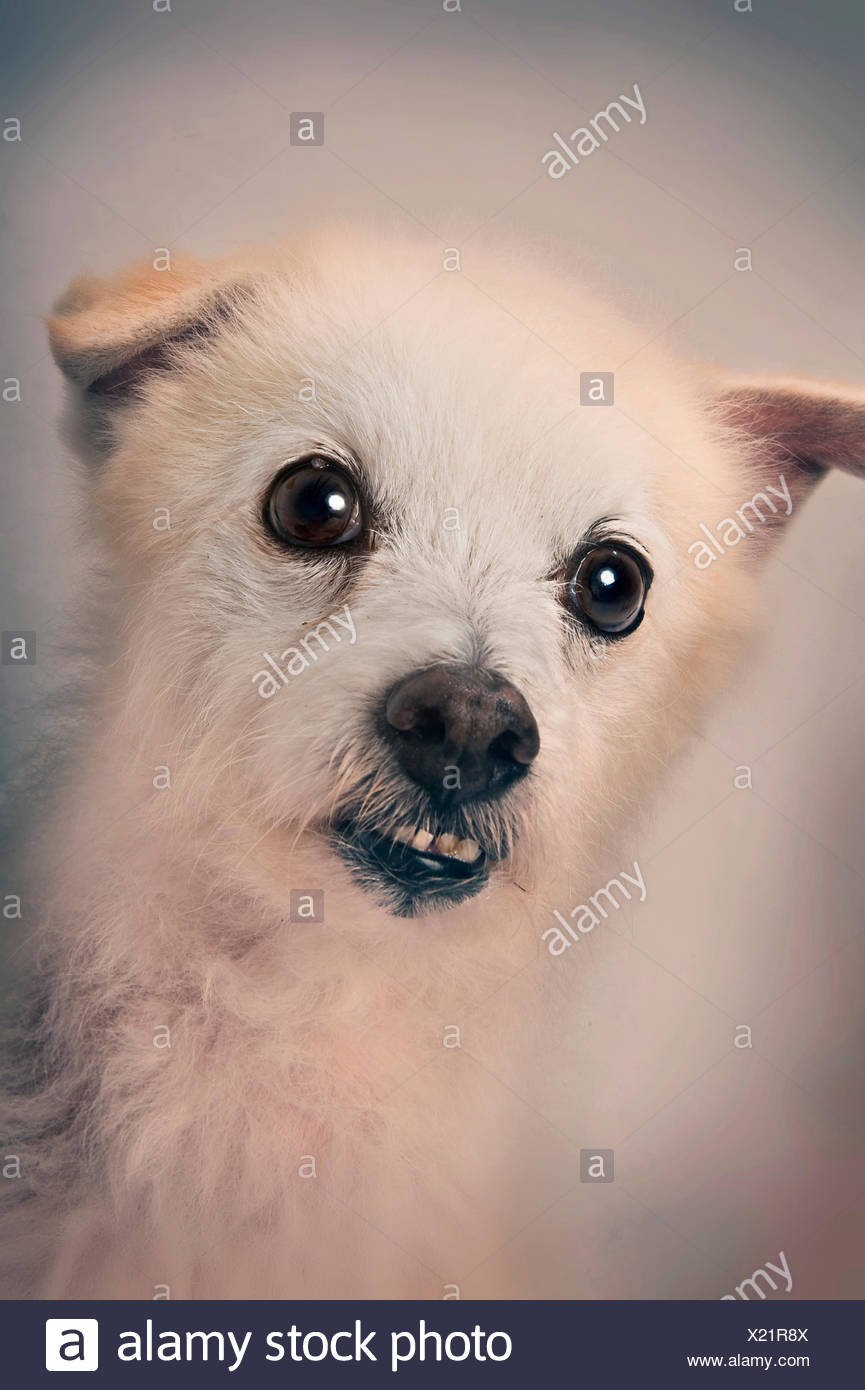 A mixed breed white curly-haired dog grimaces during a portrait session. - Stock Image