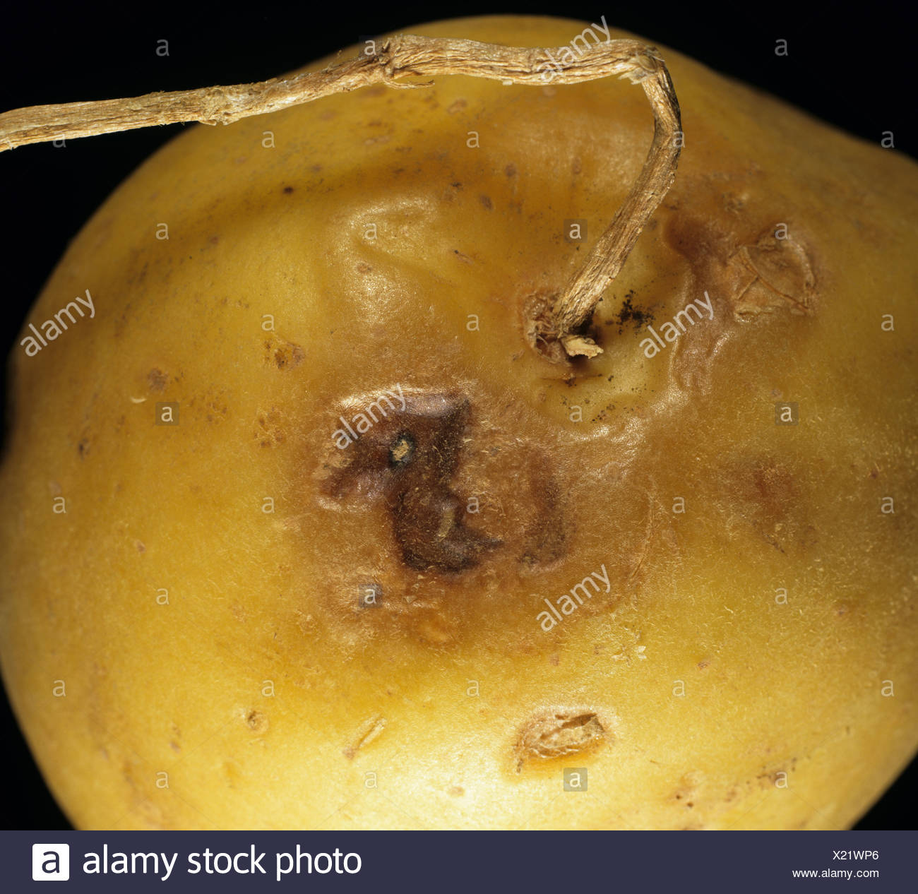 Potato tuber showing lesions of Potato virus Y ntn on stolon end - Stock Image